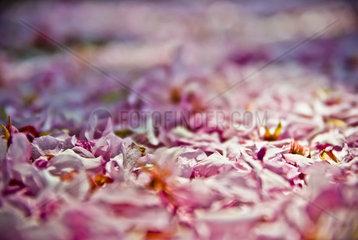 rosafarbener Bluetenteppich