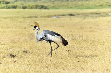Kronenkranich in Amboseli