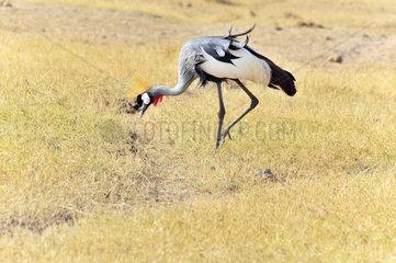 Kronenkranich in Kenia  Amboseli