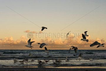 Moewen in Darss an der Ostsee