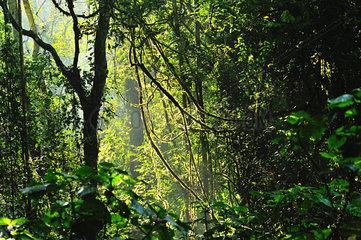 Sonnenlicht im Regenwald