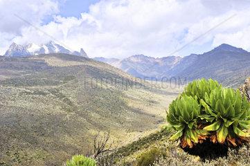 Mount Kenia mit Senezie