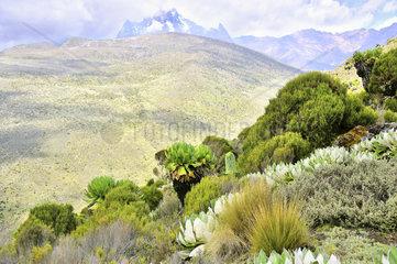 Pflanzenwelt am Mount Kenia mit Senezien und Lobelie