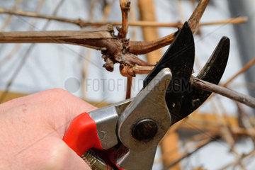 Person schneidet Weinrebe mit Gartenschere