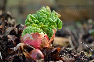 im Garten wachsender Gemeiner Rhabarber
