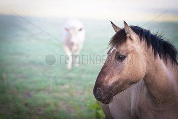 Duelmener Wildpferd mit Rind im Hintergrund