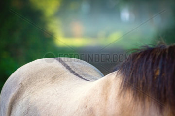 Pferderuecken vom Duelmener Wildpferd