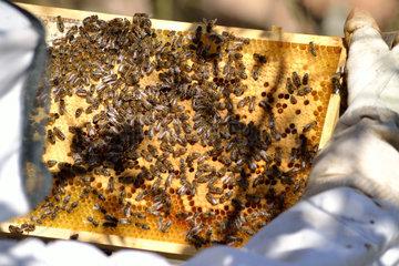 Imker begutachtet Bienenwabe