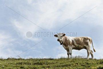 eine Kuh auf der Alm  Schweiz  Engadin  St Moritz  Sils Maria  Silvaplana  Wandern