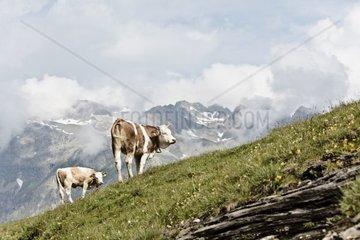 zwei Kuehe in den Alpen beim Grasen  Schweiz  Engadin  St Moritz  Sils Maria  Silvaplana  Wandern