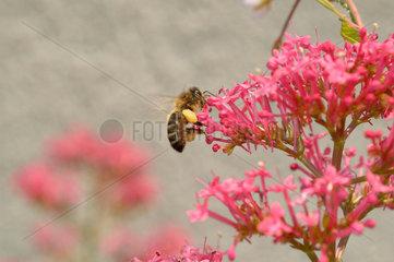 Mit Pollen schwer beladene Biene.