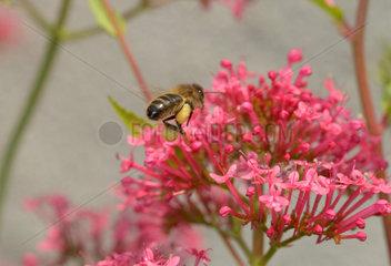 Mit Pollen schwer beladene Biene fliegt zu Blueten.
