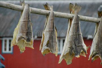 Getrockneter Fisch (Dorsch) auf den Lofoten.