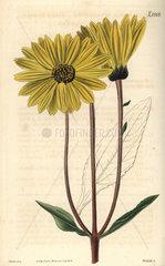 Dark-purple-eyed sunflower Helianthus atrorubens