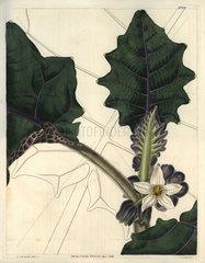 Angular-leaved downy solanum or naranjilla Solanum quitense
