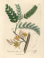 Yellow flowered tamarind tree  Tamarindus indica