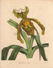 Cypripedium insigne Lady's slipper orchid