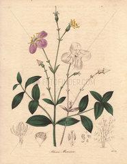 Rhexia mariana Maryland meadow-beauty