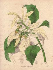 Poinsettia pulcherrima var. albida Showy white poinsettia
