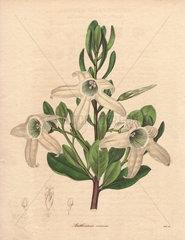 Anthocercis viscosa Sticky tailflower