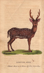 Spotted axis  chital  cheetal  spotted deer or axis deer Axis axis (Cervus axis)
