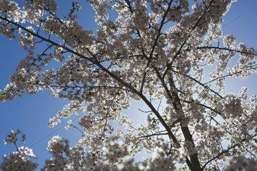 Kirschblueten  bluehender Kirschbaum in der Sonne  Garten