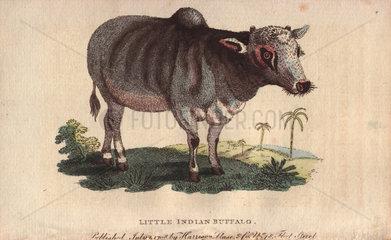 Little Indian buffalo Bos indicus