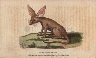 Fennec fox or zerda Vulpes zerda
