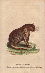 Brasilian tiger Panthera onca