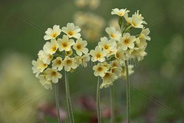 Hohe Schluesselblume  Primula elatior