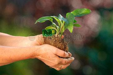 Pflanze  Setzling  halten  Haende  Wachstum  wachsen Schutz