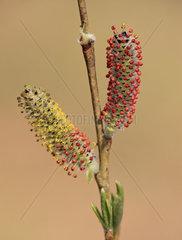 Blueten der Purpur-Weide  Salix purpurea