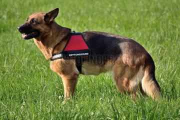 Deutscher Schaefer als Rettungshund vor seinem Einsatz