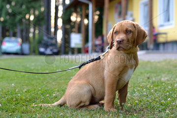 brauner Labrador-Welpe