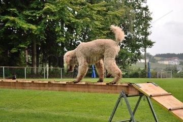 Pudel beim Rettungshundetraining auf einer Rettungsleiter