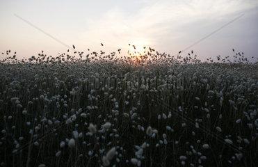 bluehende Duenengraeser im Abendlicht  Abenddaemmerung  Sonnenuntergang  Noirmoutier-en-l ssle  ssle de Noirmoutier  Pays de la Loire  Frankreich  Europa