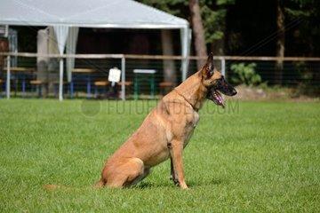 Belgischer Schaeferhund wartet auf Kommando des Besitzers