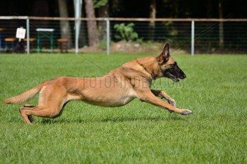Belgischer Schaeferhund startet los zum Besitzer
