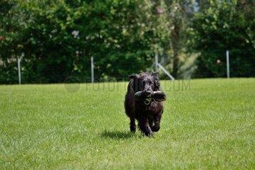 schwarzer Hund apportiert am Trainingsplatz Turnschuh