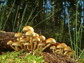 Pilze  Schwefelkoepfchen auf Totholz
