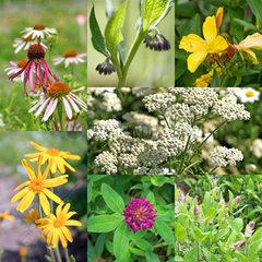 Collage verschiedener Heilpflanzen