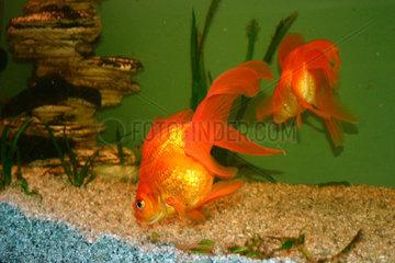 Orange Fische in einem Aquarium