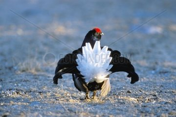 Tiere  Voegel  Huehnervoegel  Birkhuhn  Black Grouse  Lyrurus tetrix  Tetrao tetrix Birkhahn bei der Balz