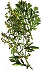 Serie Heilkraeuter Gemeiner Wermut Artemisia absinthium Absinth