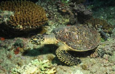 gruene Meeresschildkroete