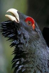 Tiere  Voegel  Auerhahn  Auerhuhn  Western Capercaillie  male  Europe  Tetrao urugallus  Portrait  Hochformat  Vertikal