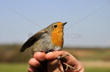 Vogelberingung