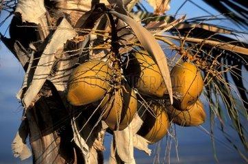USA  Hawaii  Big Island  coconut palm tree