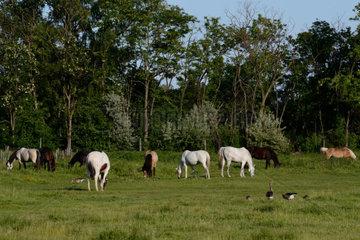 zahlreiche Pferde auf der Weide