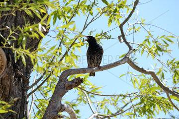Vogel Star zwitschert von einem Weidenbaum